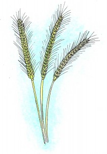Rye - the Nordic grain