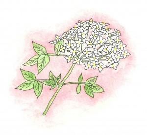 Elderflower - blossoms in June