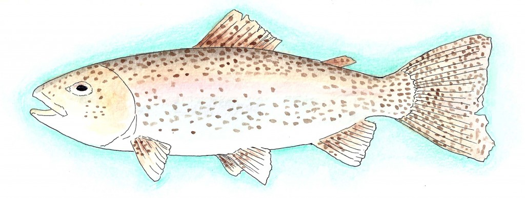 Nordic Rainbow Trout