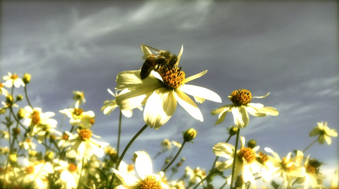 Danish Bee Nature photography