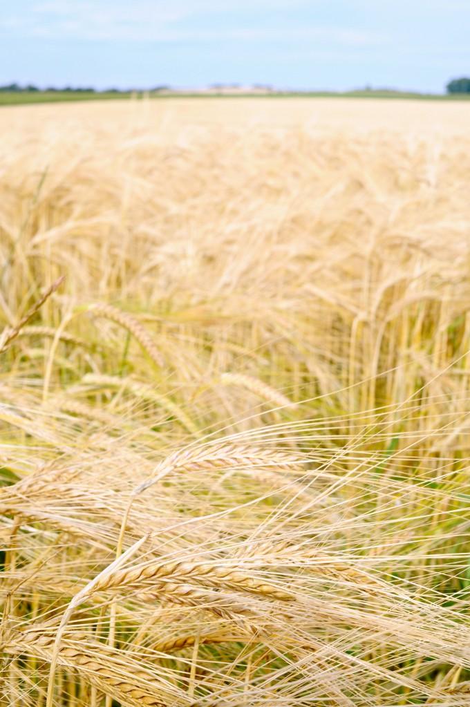 Rye Fields| Nature photography | www.karlasnordickitchen.com