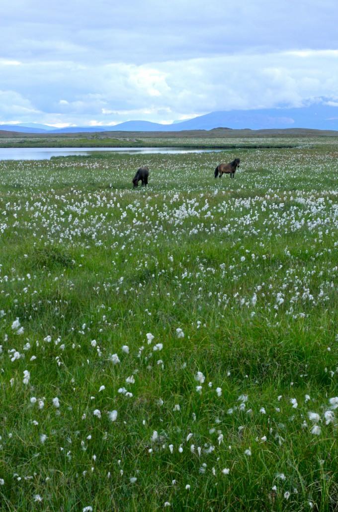 Snæfellsness Icelandic horses